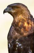 Red tailed Hawk braune Federn — Stockfoto