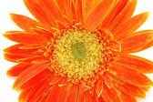 Close up of orange gerber daisy — Stock Photo