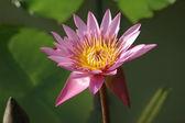 Lótus rosa — Fotografia Stock