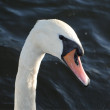 Swan's portrait — Stock Photo