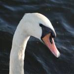 Swan's portrait — Stock Photo