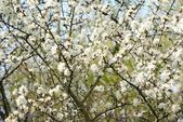 White blossom — Stockfoto