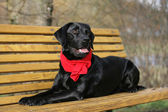 Labrador Retriever mit Halstuch — Stock Photo