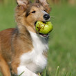 Sheltie Welpe mit Apfel - Stock Photo