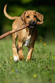 Rhodesian Ridgeback Welpe — Stock Photo