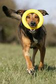 Mischlingshund mit Spielzeug — Stock Photo
