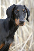 Dobermann Welpe — Stock Photo