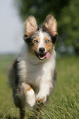 Rennender Australian Shepherd — Stock Photo