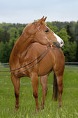 American Quarterhorse — Stock Photo