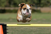 Flying Bulldog — Stock Photo