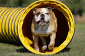 Tunnelhund — Stock Photo