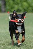 Appenzeller Sennenhund mit Spielzeug — Stock Photo