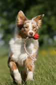 Australian Shepherd apportiert Ball — Stock Photo