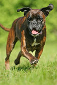 Rennender deutscher Boxer — Stock Photo