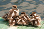 Group of ducklings on a mooring — Stock fotografie
