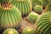 Cactuses — Stock Photo