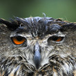 Sad wet Owl — Stock Photo
