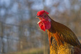 Crowing rooster — Stock Photo