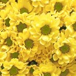 Yellow chrysanthemum  as a background or texture — Stock Photo