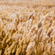 Golden dry rush on background — Stock Photo #6009206