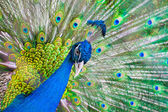 Portrait of beautiful peacock with feathers out — Стоковое фото