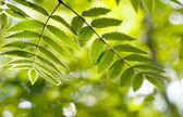 листьев рябины — Стоковое фото
