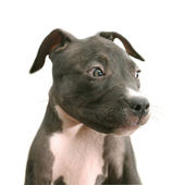Cachorro pitbull — Foto de Stock