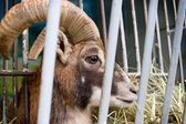 Capricorn in zoo cage — Foto Stock