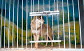 Wolf in zoo cage — Stock Photo