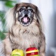 Pekingese dog — Stock Photo #6253385