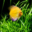Discus fish - Stock Photo