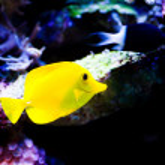 ������, ������: Yellow tang