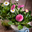 Pot of Bellis perennis — Stock Photo