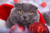 Xmas portrait of a cat — Stock Photo