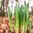 Daffodil shoots — Stock Photo #6073049