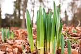 Daffodil shoots — Stock Photo
