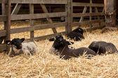 овцы — Стоковое фото