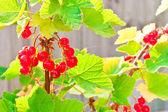 Redcurrants — Stock Photo