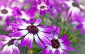 Senetti flowers — Stock Photo