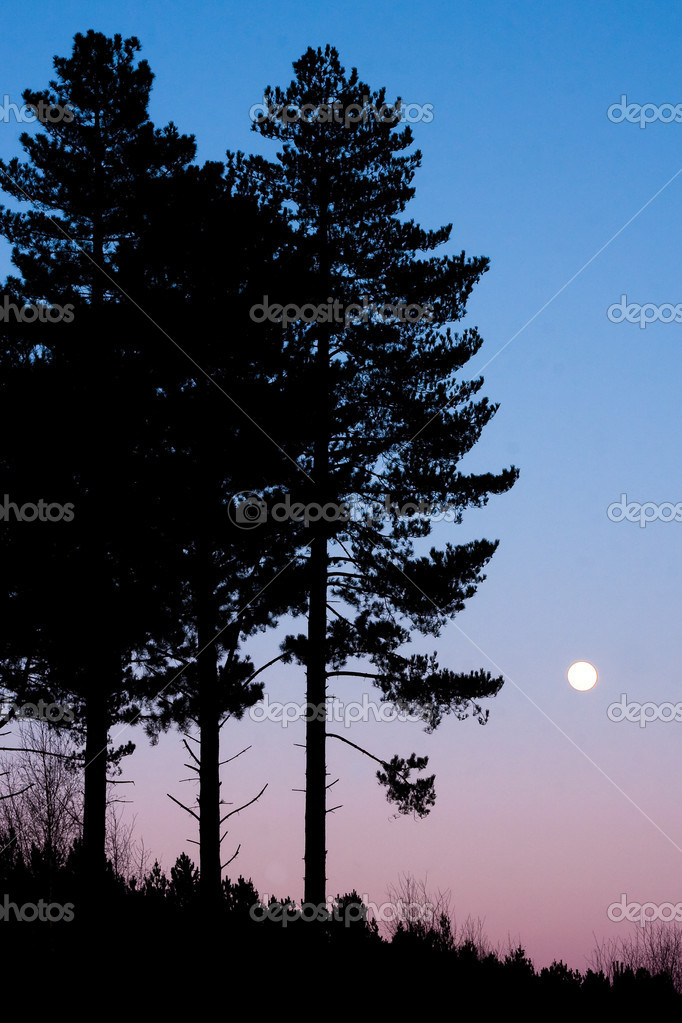 Pine trees — Stock Photo #6170805