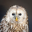 Ural owl — Stock Photo