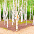 Stock Photo: Silver birch trees