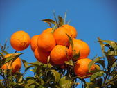 Wealthy orange tree — Stock Photo