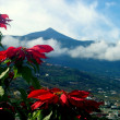 Poinsettia and el Teide - Stock Photo