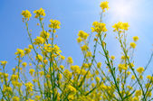 Rapeseed flowers — Stock Photo