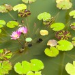 Pink lotus on the lake — Stock Photo
