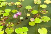 Pink lotus on the lake — Stock Photo