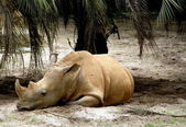 Rhinocéros blanc — Photo