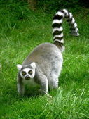 Ringtailed lemur — Stock Photo