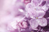 Beautiful lilac flowers — Stock Photo